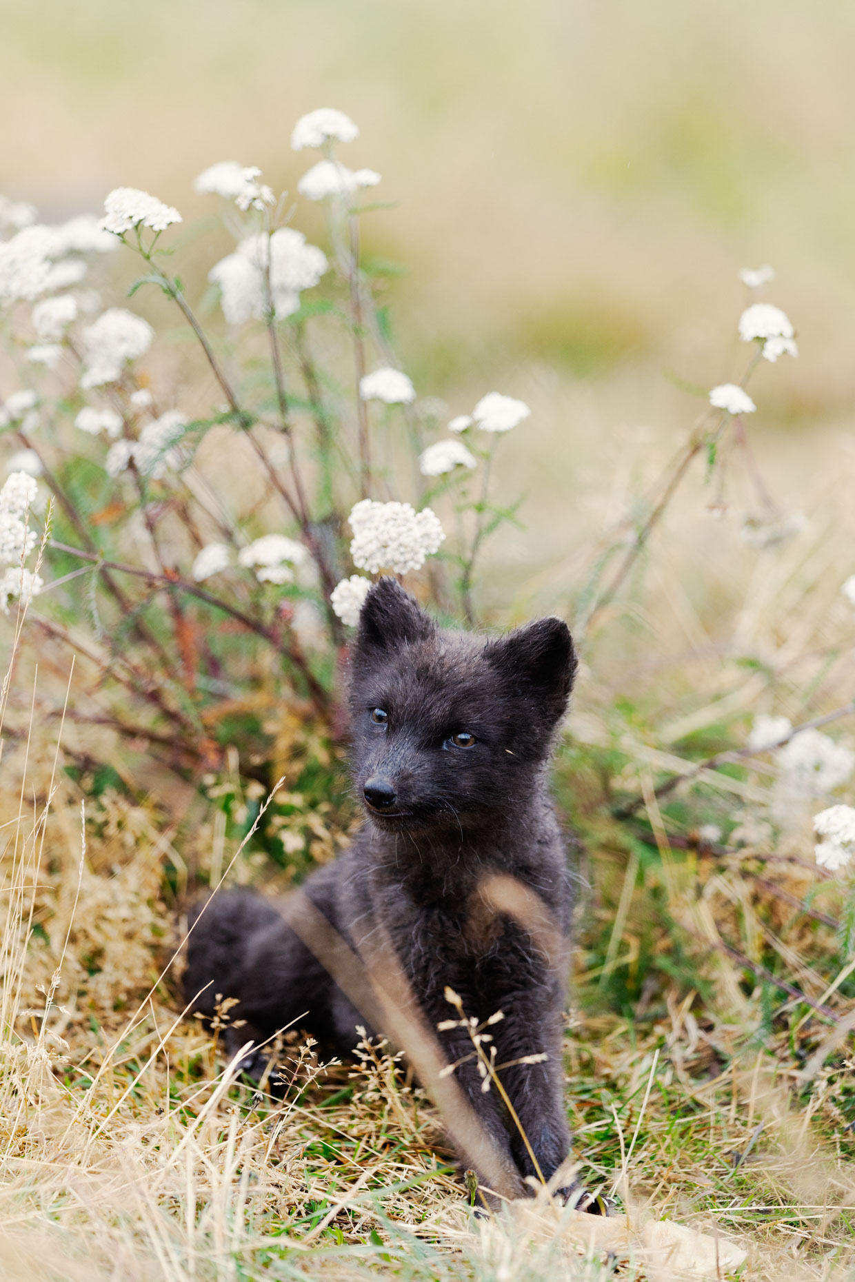 IS_SE_305124 - Animals / Arctic Foxes